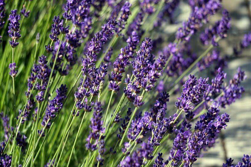 Aromaölmassage München, Lavendel Aromaöl, Aromaölmassagen